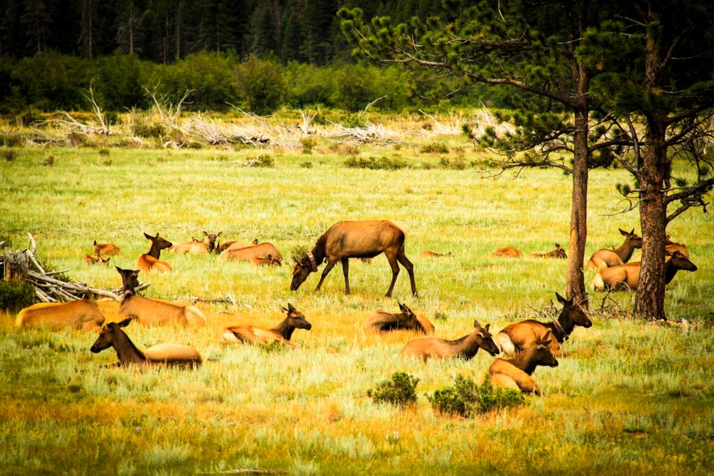 Elk in Rocky Mountain National Par