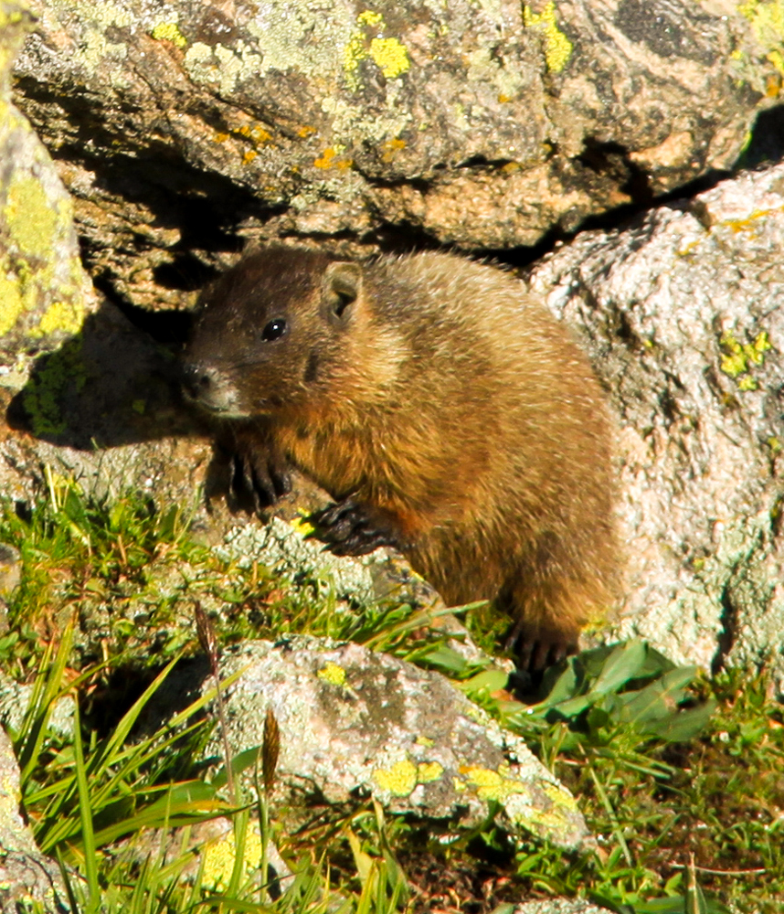A yellow-bellied marmot at Rocky Mountain National Park