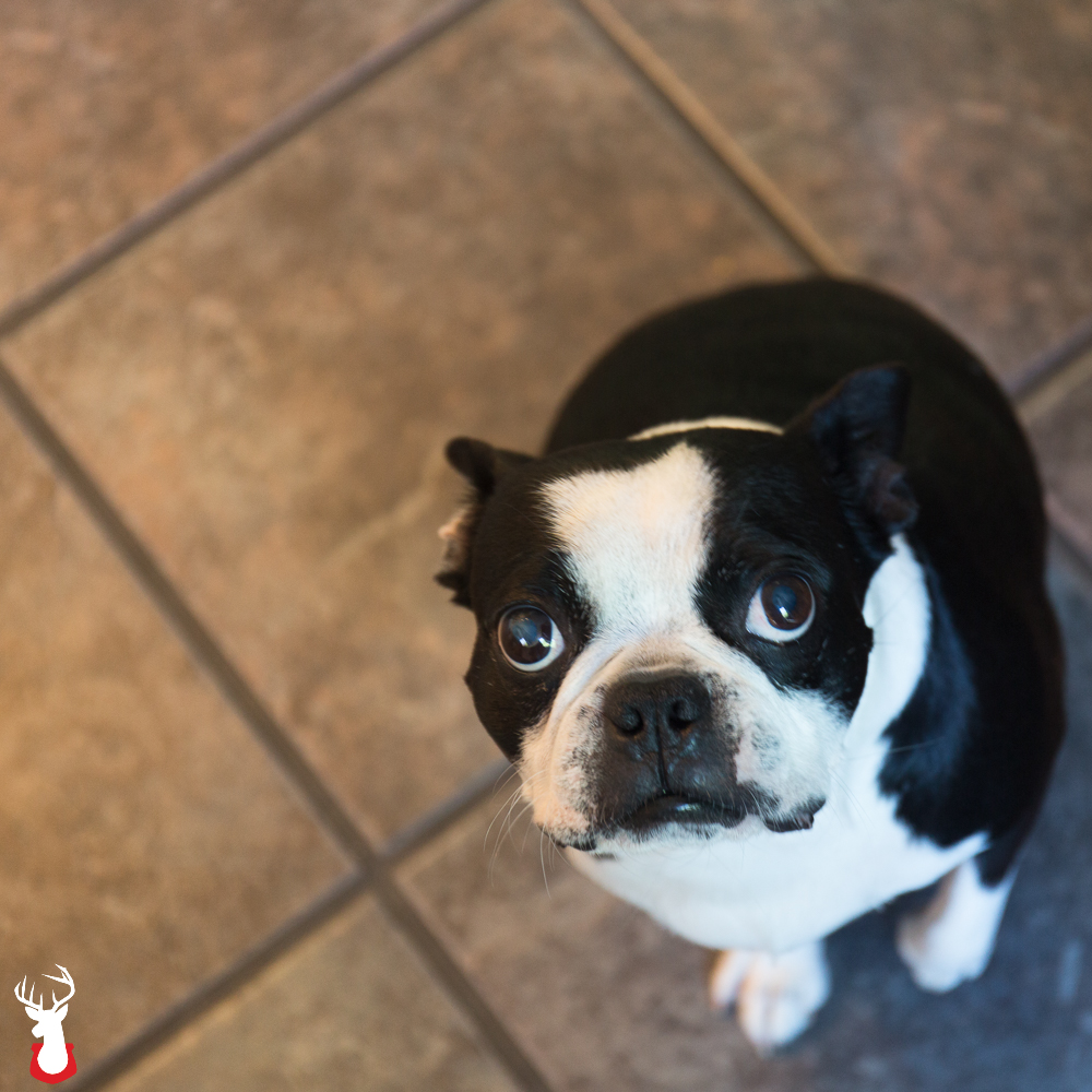 Odie the Boston Terrier