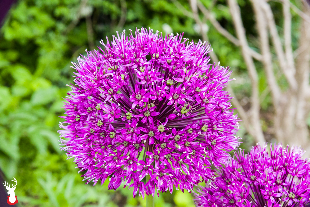Our Favorite Spring Blooming Perennials: Alliums