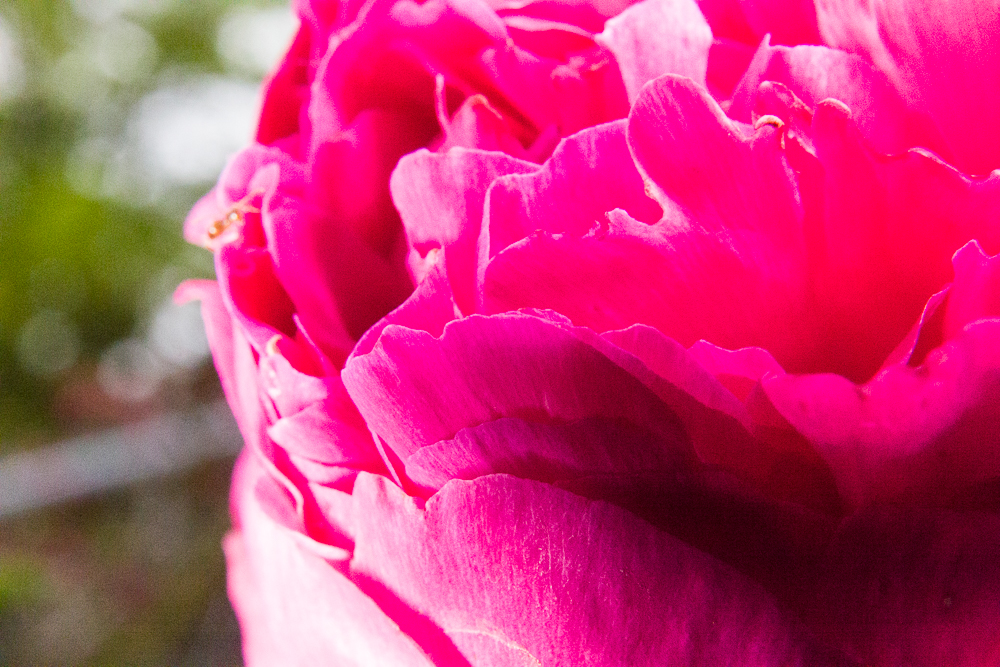 Our Favorite Spring Blooming Perennials: Peonies