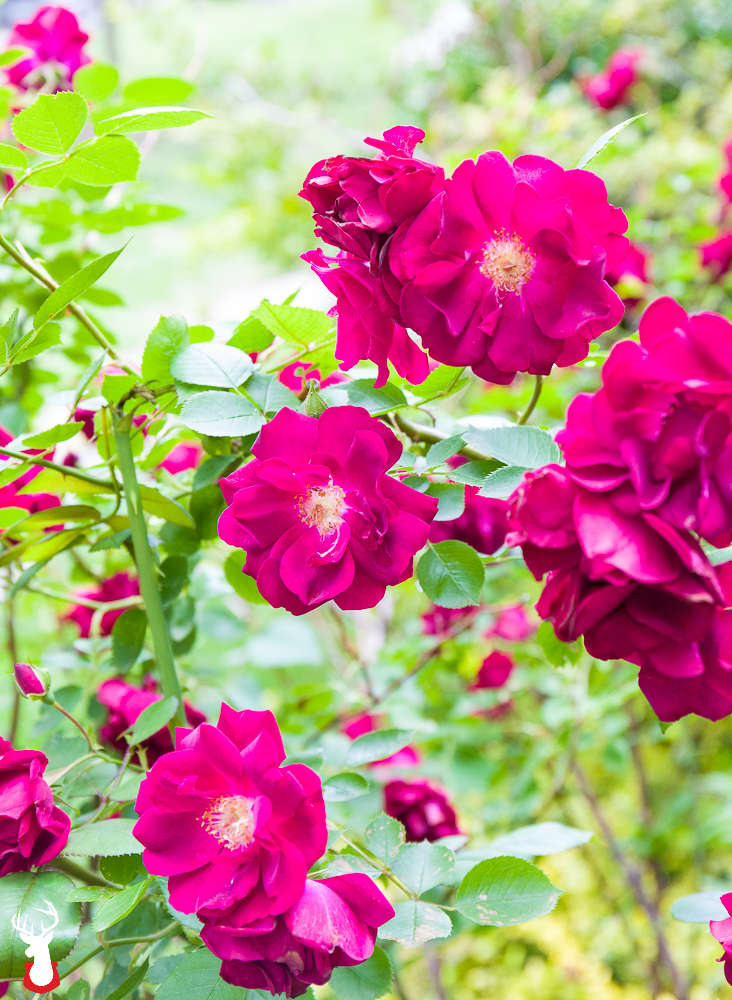 Our Favorite Spring Blooming Perennials: Knockout Roses